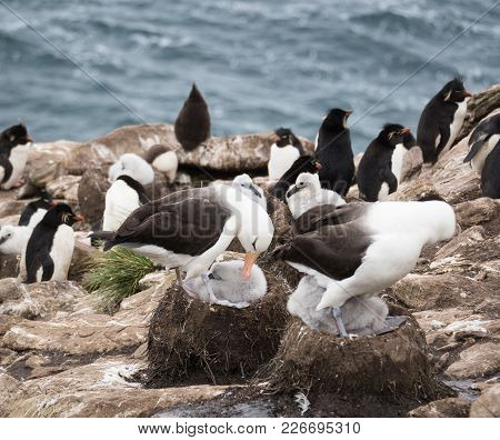 Black Browed Albatross Adults And Chicks In The Nests. Rockhopper Penguins On The Rocky Coast And Wa