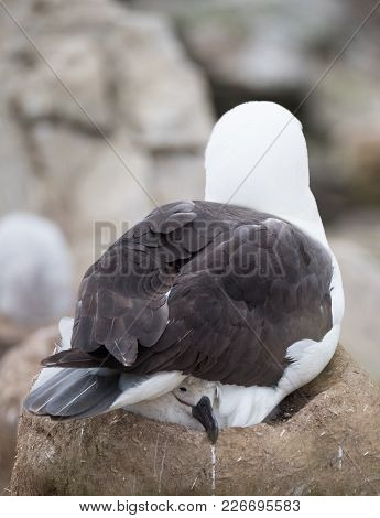 Close Up Of An Adult Black Browed Albatross Sitting On Its Mud Chimney Nest With A Chick Poking Its