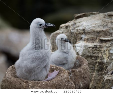 Close Up Of Two Black Browed Albatross Chicks Sitting In Their Mud Chimney Nests. Shallow Depth Of F