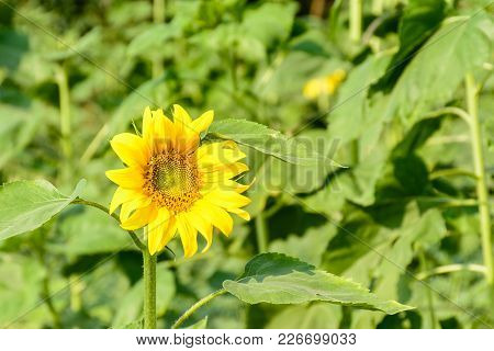 Closeup Photo Of Sunflower In The Farm