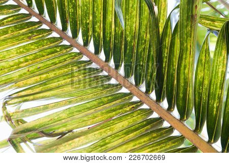 Texture Of Coconut And Palm Leaves, Nature Background