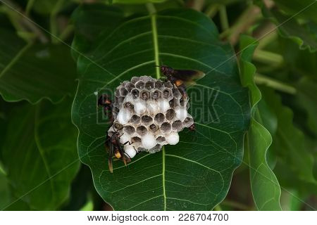 A Nest Of Hornet With Some Wasps And Maggots.