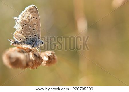 Butterfly Sitting On  Grass With Natural Golden Background