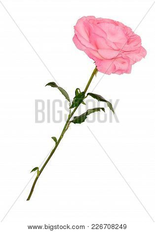 Rose Pink On A White Background. Beautiful Single Pink Rose Isolated On White Background