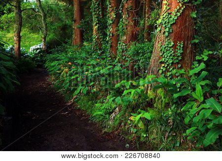 Tropical forest of Sete cidades in Sao Miguel island, Azores, Portugal, Europe