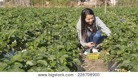 Young Woman picking strawberry in the field