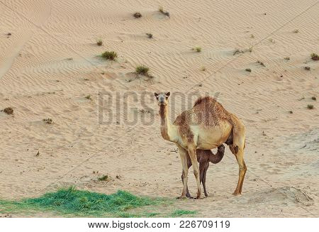 Desert Landscape With Baby Camel Calf Feeding On Mother Camel In Arabian Desert, Dubai. Travel Safar
