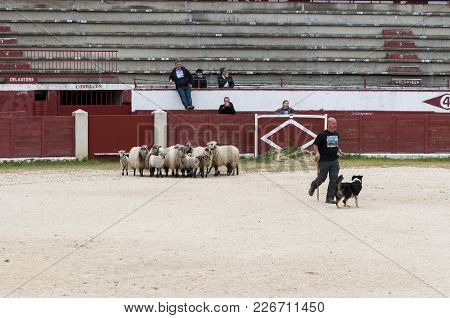 Colmenar Viejo - April 25, 2015: Herding Dog Working Sheep During A Demonstration In Colmenar Viejo,