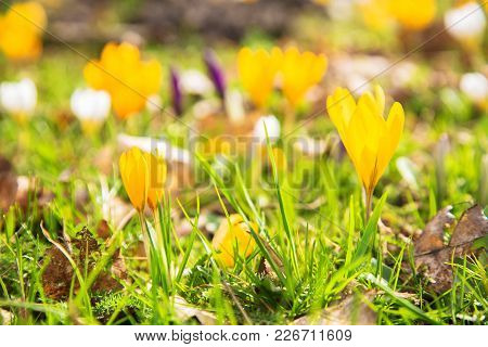 The First Spring Flowers Crocus. White Spring Fragrant Flowers Of Crocus And Green Grass. Spring Bri