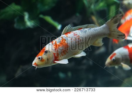 Koi Fish Or Carp Swimming Under Water