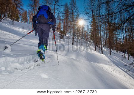 Ski De Randonnée. Woman Climbs Into The Woods With The Sun In The Trees