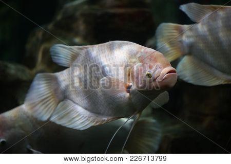 White Giant Gourami Fish Or Osphronemus Goramy Swimming In Aquarium