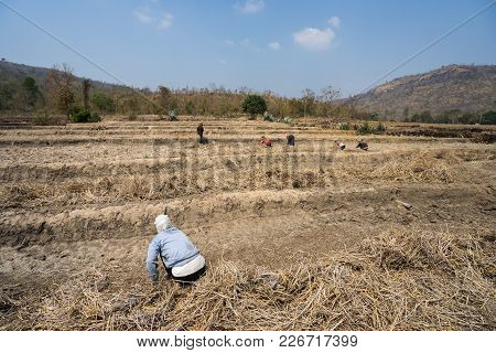 Rice Field Affected By The Continuous High Temperature And Drought Rare, Crop Failure In Gia Lai, Ce