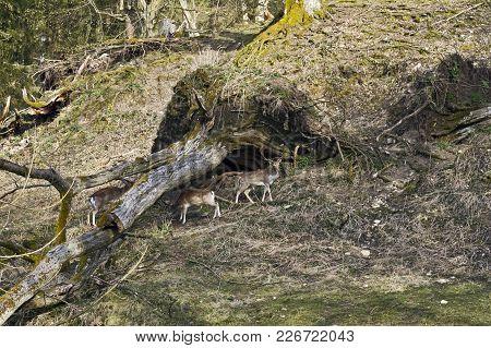 Fallow Deers In Tierpark Schloss Rosegg, Austria