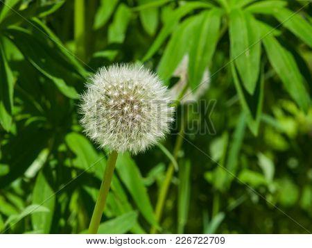 Dandelion With Ripe Seeds On Bokeh Background, Macro, Selective Focus, Shallow Dof.