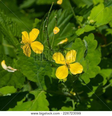 Flowers Of Greater Celandine Or Tetterwort, Chelidonium Majus, Macro, Selective Focus, Shallow Dof.