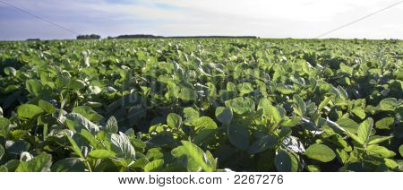 Soybeans Ii
