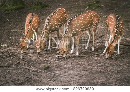 Fallow Deer Aligned While Eating - Cute Animals Image With Two Bucks And Two Doe Fallow Deer, Aligne