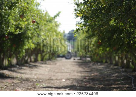 Photo Of Plantation Of Ripe Pomegranate In Sunny Weather, Israel
