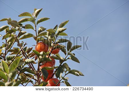 Photo Of Plantation Of Ripe Persimmon In Sunny Weather, Israel