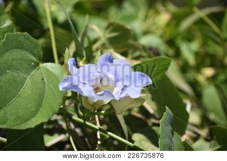 Blooming Morning Glory Flower With Blue Petals
