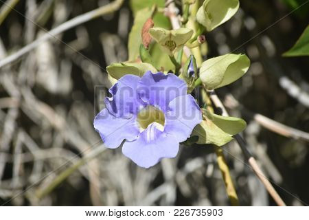 Close Up Photo Of A Morning Glory Flower That You Can See Inside The Flower