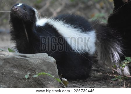 Adorable Skunk Sniffing The Air With A Little Black Nose.