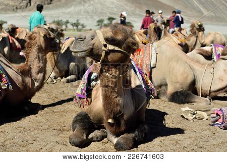 Camels On The Desert In The Nubra Valley In Ladakh, India.