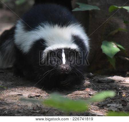 Skunk Wiggling His Little Black Nose In The Wild.