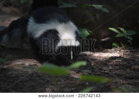 Wild Black And White Skunk In Woodlands.