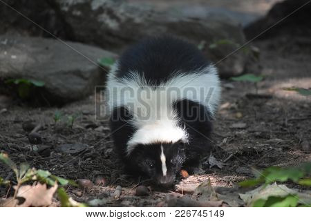 Wild Black And White Skunk In The Woods.