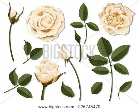 A Set Of Flower Parts. Inflorescence, Bud And Leaf Of A Cream Rose. Vector, Detailed, Realistic Illu