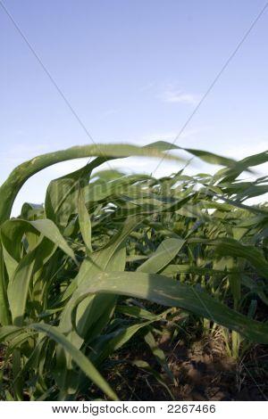 Corn Iii