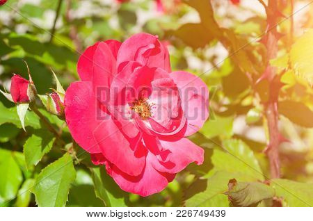 Rose Flower, Closeup Of Beautiful Rose Flower In The Summer Garden. Summer Flower Of Red Rose Flower