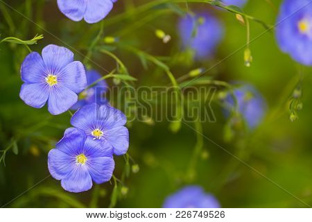 Close-up Blue Flax Flowers Outdoor In Garden On Sunny Day