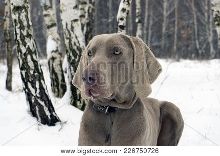 Beautiful Weimaraner Dog Standing In Snow At Winter Day. Large Dog Breds For Hunting. Weimaraner Is