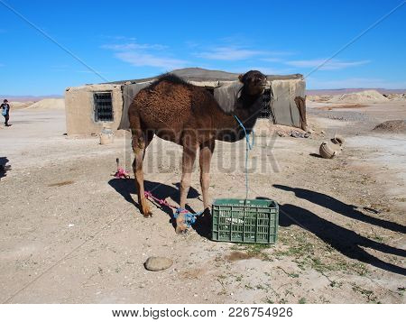 Cute Young Camel And Moroccan Cottage In Village On Sahara Desert Landscapes In Central Morocco With