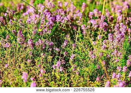 Close-up Wild Thyme Plants With Pale Pink Purple Flowers