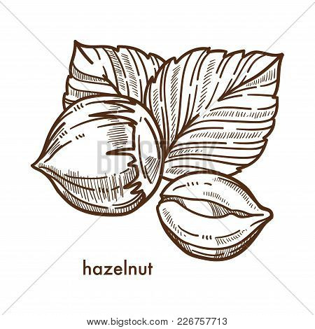 Whole Healthy Tasty Ripe Hazelnut With Big Leaves. Nut Full Of Useful Fats, Many Vitamins And Minera