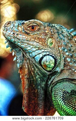 Portrait Of A Iguana Lizard In West Java, Indonesia