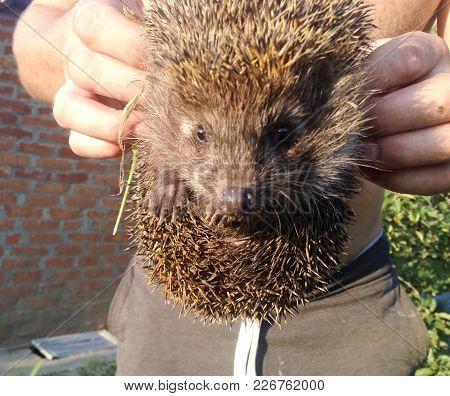 Hedgehog. The Prickly Mammal Is A Hedgehog