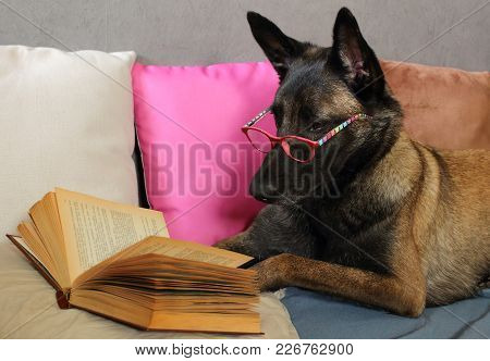 A Malinois Belgian Sheepdog Reads A Book With A Pair Of Glasses On The Muzzle Lying On Cushions In C