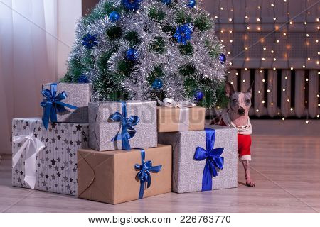 Cute American Hairless Terrier Is Looking Out From Behind A Christmas Tree. Pet Animals. Traditional