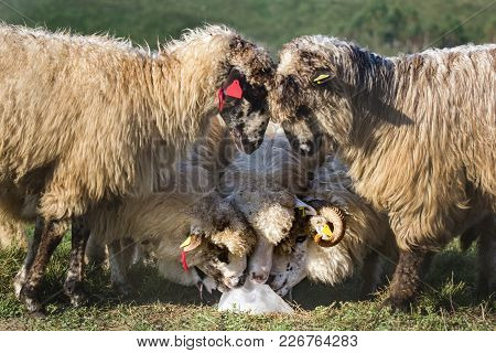 Five Beautiful White Sheep Fighting And Licking A Salt Crumb In The Morning Light,dumesti,romania