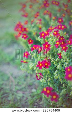Small Dark-red Flowers In Garden In Summer On Sunny Day, Vibrant Color