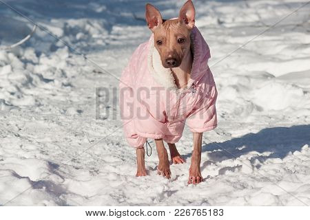 Cute American Hairless Terrier In Beautiful Overall Is Standing On A White Snow. Pet Animals. Sunny