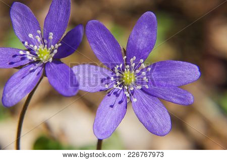 Blooms Of Violets At Early Springtime In The Forest