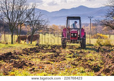Tractor In Autumn Garden, Rural Agricultural Scenery. Cows In Background