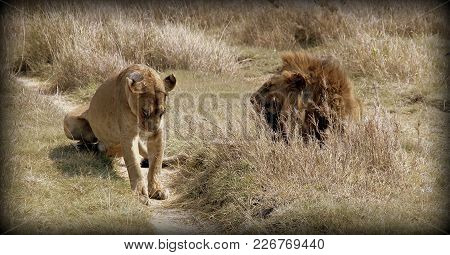 A Lion And Lioness In The Wild Sabana In Tanzania