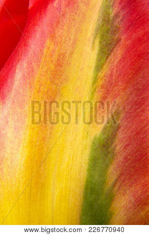 Macro Close Up Of Natural Multicolor Tulip Petal
